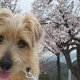 桜とうずまき